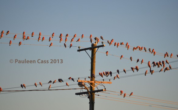 Galahs at dawn Winton_edited-1